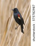 Small photo of Male Tri-colored Blackbird (Agelaius tricolor) - Central California