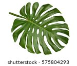 Large Tropical Shiny Jungle...