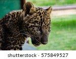 Baby Leopard 4
