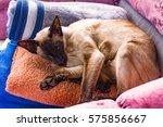 oriental cat.  siamese cat | Shutterstock . vector #575856667