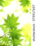 leaves of fresh green.leaves of ...   Shutterstock . vector #575917657