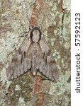 pine hawk moth  sphinx pinastri  | Shutterstock . vector #57592123