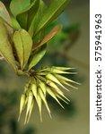 Small photo of Black Mangroves (Aegiceras corniculatum) flower buds look like beans. (Selective focusing)