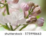 White And Pink Lilacs...
