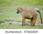 Male Guinea Baboon