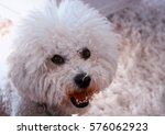 dog   white and large male... | Shutterstock . vector #576062923