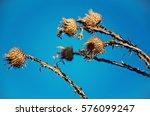 Dry Milk Thistle Flower On Sky...