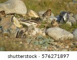 snow bunting plectrophenax... | Shutterstock . vector #576271897