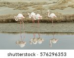 Four Greater Flamingos  ...