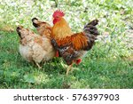 beautiful rooster and hen on... | Shutterstock . vector #576397903