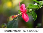 Hibiscus With Copy Space