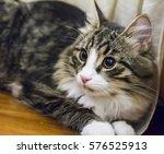 male cat of siberian breed ... | Shutterstock . vector #576525913