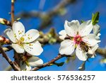 Bee On Almond Tree Flower ...