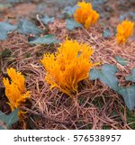 Yellow Stagshorn Fungus ...