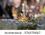 the common toad  european toad  ... | Shutterstock . vector #576570067