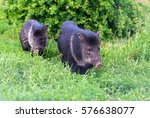 the couple of peccaries  wild... | Shutterstock . vector #576638077