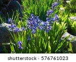 jacinth. primrose rose on the...