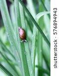 Small photo of Snail on a green leaf Hemerocallis after a rain vertically. Gastropoda.