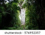 Gigantic Kauri Tree Growing In...