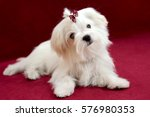 Stock photo portrait of a cute white long haired maltese girl on a red background the puppy is month old on 576980353