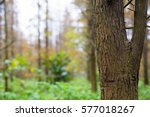 tree trunk of pine forest | Shutterstock . vector #577018267