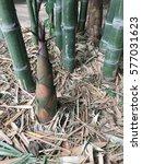 Small photo of Bamboo shoot of bamboo