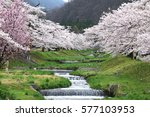 cherry blossoms blooming in... | Shutterstock . vector #577103953