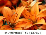 beautiful zephyranthes lily...   Shutterstock . vector #577137877