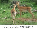 impala nuzzling in the grass | Shutterstock . vector #577140613