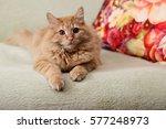 Beautiful Fluffy Ginger Cat...