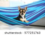 Stock photo cute puppy lying in blue hammock at home 577251763