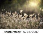 swallen fingergrass  finger... | Shutterstock . vector #577270207