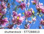 beautiful pink blooming of... | Shutterstock . vector #577288813