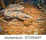 Montane Trinket Snake  Collard...