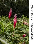Small photo of Red Ginger (Alpinia purpurata) Nicaragua
