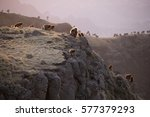 gelada baboon group on cliff in ... | Shutterstock . vector #577379293