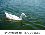 white duck in river  | Shutterstock . vector #577391683