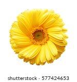 Yellow Autumn Chrysanthemum...