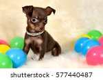 Stock photo red yellow blue portrait of a handsome short hair brown and tan color miniature russkiy toy 577440487