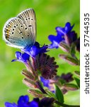Small photo of Flowering Common Bugloss or Alkanet with feeding butterfly