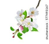 white apple flowers branch... | Shutterstock . vector #577493167