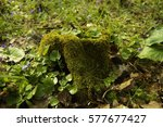 snag covered in moss | Shutterstock . vector #577677427