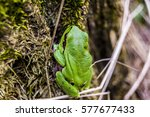green frog in the forest | Shutterstock . vector #577677433