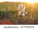 little white wildflower in the...   Shutterstock . vector #577704373