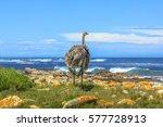 A Wild Ostrich Along The...