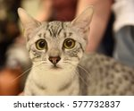 Cat Of The Breed Egyptian Mau