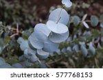 dollar plant  eucalyptus... | Shutterstock . vector #577768153