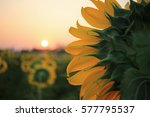 Close Up Of Yellow Sunflower O...