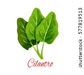 cilantro leaves. herbal spice... | Shutterstock .eps vector #577819513