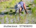 farmer planting rice sprout in... | Shutterstock . vector #577858093